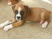 This gorgeous litter of AKC registered Boxer puppies