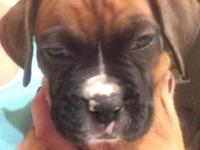 AKC BOXER PUPPIES 6 weeks old prepared for their