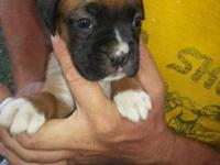 We have 4 AKC Registered boxer young puppies excluded