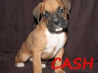 AKC Boxer young puppies. Born 10-31-14 prepared for