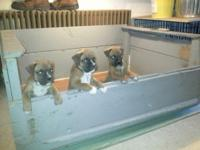 AKC BOXER PUPS Tails docked,dewormed,UTD on shot s and