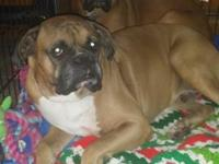boxer puppies taking deposits very beautiful 1 female 3