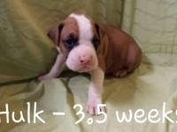 AKC Boxer puppies located in Salina. They were born