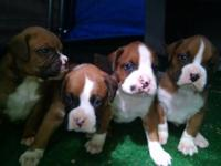 I have 4 males and 2 female Boxer pups. They are 3