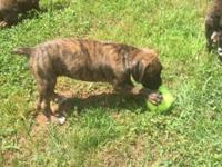 AKC Registered Boxer Puppies , Vet checked , Tails