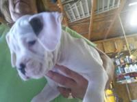 I have 2 adorable female boxer puppies they are white