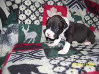 AKC boxer puppies born July 13th. I have one flashy