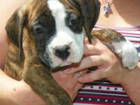 Gorgeous AKC male boxer pups. 8 weeks old. Brindle with