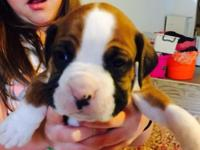Adorable AKC boxer puppies for sale...only 5 males