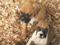 There are 9 Beautiful AKC Boxer Puppies, Champion