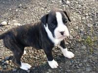 We have 8 beautiful boxer puppies for sale to approved