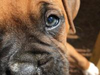 We have 6 boxer pups left (out of 8) that will be ready