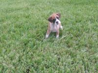 AKC registered boxer puppies. Girl1 - Three in photos
