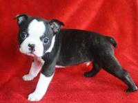 I have a litter of 10 AKC Champion bloodline pups. The