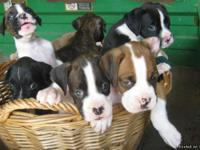AKC boxer puppies with champion bloodlines available in