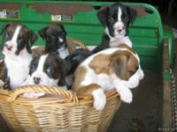 Boxer puppies AKC with champion bloodlines.  Two