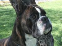AKC One-half European Boxers. They come from Samson