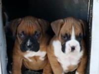 Boxer pups, family raised, Akc, shots and wormed. Ready