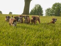 AKC Boxer Puppies Family Raised, tails anchored, dew