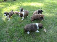 I have 5 female and 3 male boxer puppies, they have