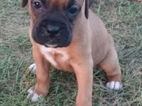 I HAVE 2 FEMALE AKC REGISTERED BOXERS. WILL BE UTD ON