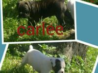 3 - beautiful female AKC Boxer Puppies for Sale. 6