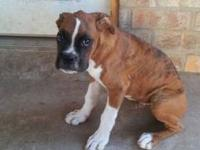 Beautiful AKC Boxer puppies for sale. Tails docked,