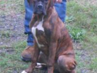 Leo is a showy covered reverse brindle male AKC fighter