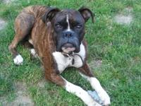 AKC BOXER PUPS FOR SALE READY TO GO SERIOUS OWNERS AND