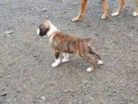 We have 5 Beautiful Boxer puppies left. 3 females and 2