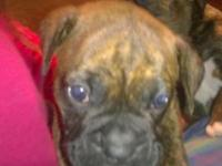 AKC Boxer puppies born March 10, 2015. Already have the