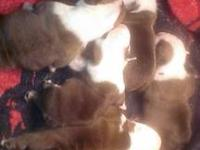 AKC registered boxer puppies born September 14th. They