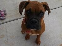 For Sale AKC Boxer Puppy 6 months old, House Trained,