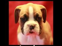 Attractive AKC Pugilist puppy from loving residence.