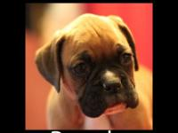 Stunning AKC Pugilist puppy from loving house. Brandy