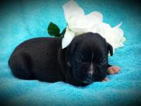 Last puppy readily available is $800 (Full Akc