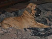 AKC Boxer puppy 1 brindle male $750 , tail and due claw