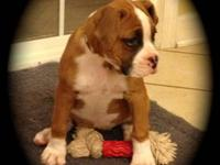I have for sale a female flashy fawn boxer. She is AKC