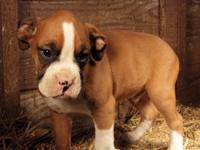 Cute AKC boxer puppies ready for adoption today!