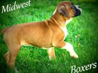 AKC Boxer young puppies will certainly be prepared to