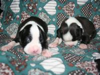 Gorgeous puppies ready in mid August. home raised,