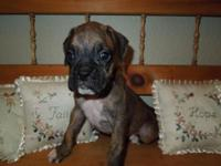 AKC Boxer pups- I have one white female and two brindle