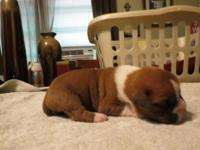 Boxer puppies are ready for viewing and finding new