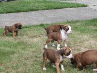 2 beautiful female AKC boxer puppies left that are