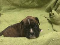 AKC registered pugilist puppies. 41/2 weeks old. Taking