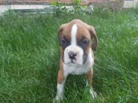 akc boxer pups... Only 4 left!!! Just males. we have