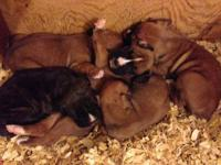 AKC Boxer pups with full AKC Registration. First shots,