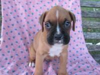 We have Classic Fawns boxers who are AKC registered.