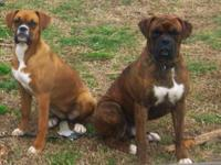 AKC Boxer puppies 1 fawn male and 1 brindle female left