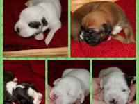 AKC Boxer Puppies available for Christmas. We have 9